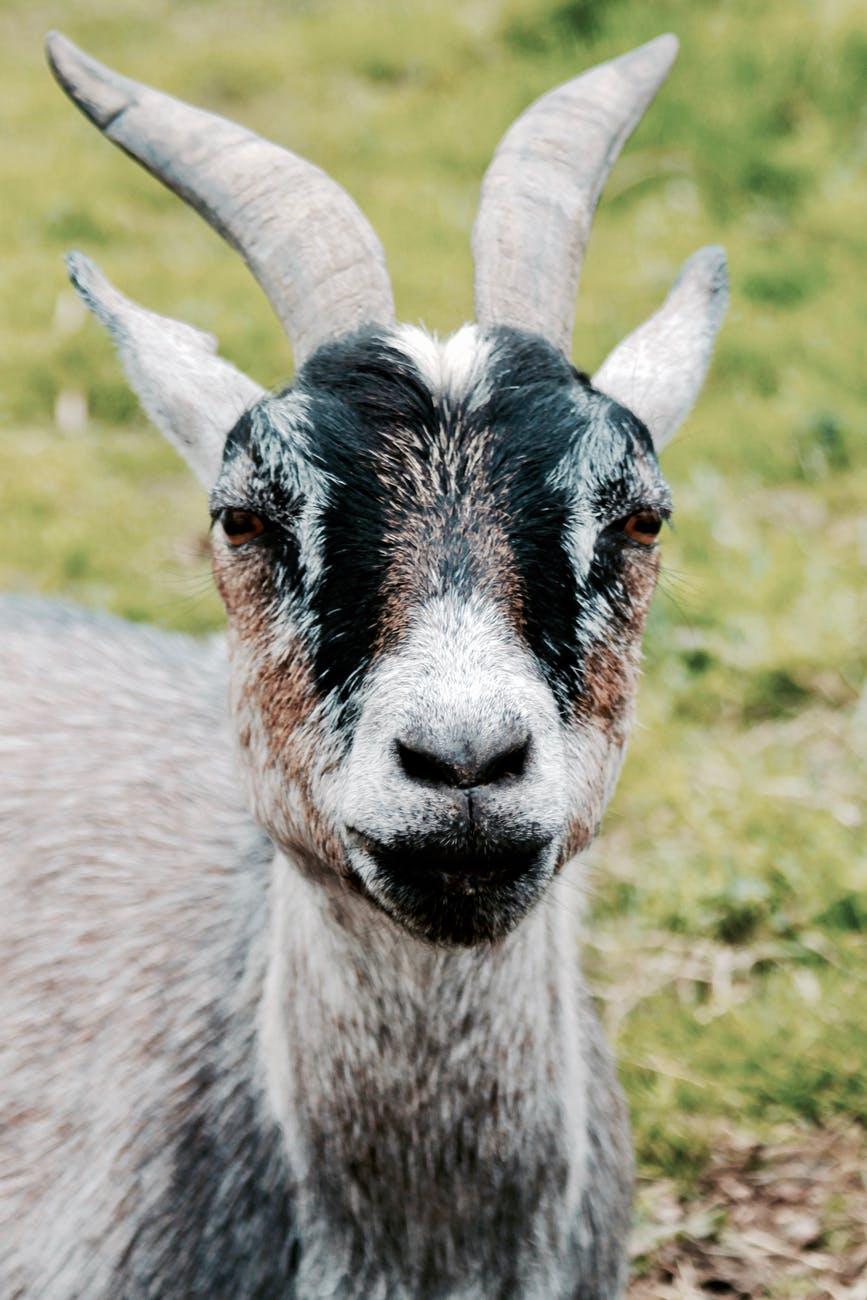 agriculture animal blur close up